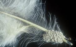 Chicken shaft lice | Vet Times