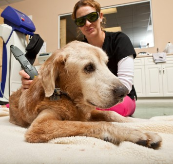 Low Level Laser Therapy For Dogs Vet Times