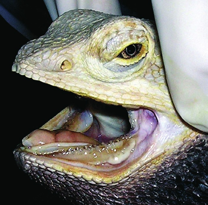 Bearded Dragon With Periodontal Disease Exotic Practice Challenge