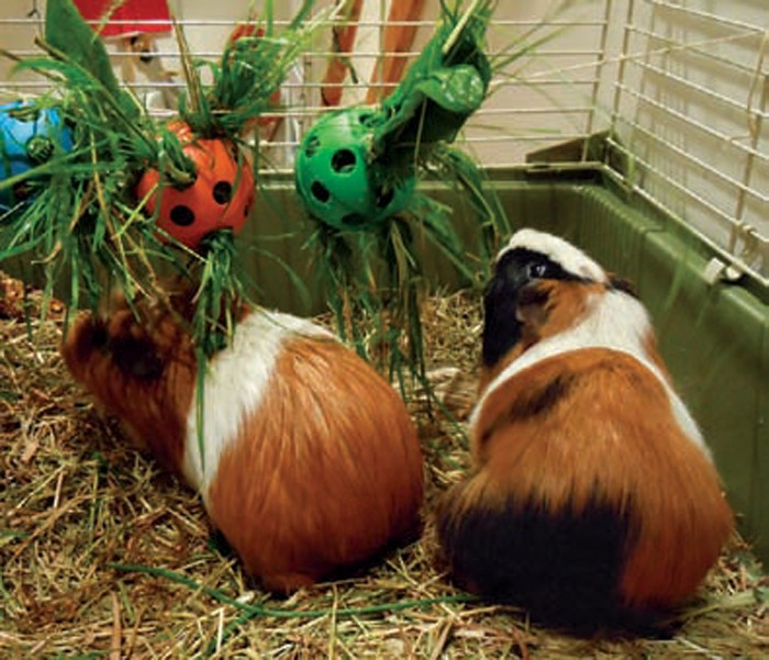 chinchillas  guinea pigs and degus  what vets need to know