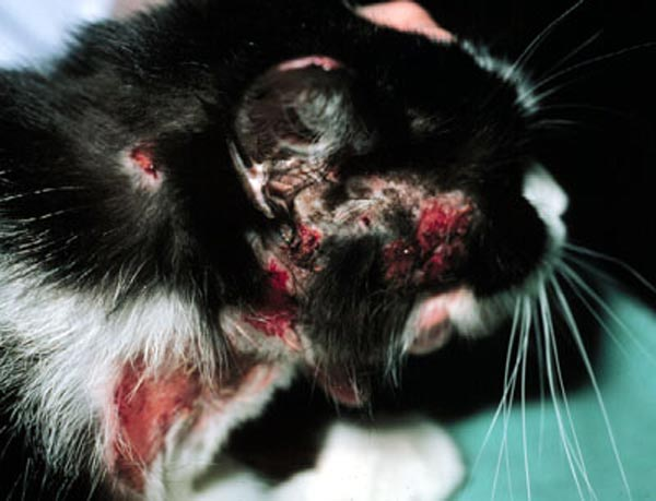 Immunotherapy In Cats Vet Times