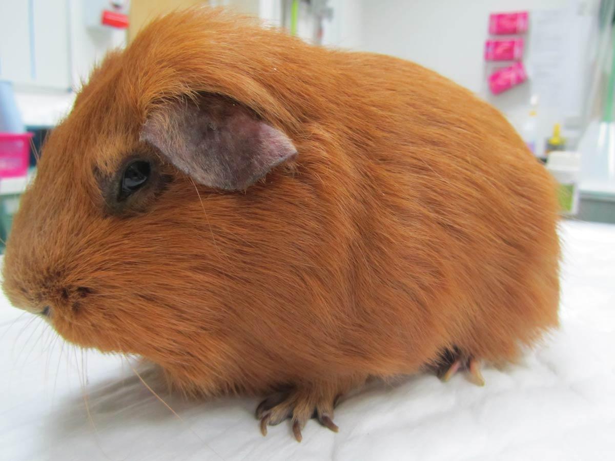Diy Guinea Pig Bed