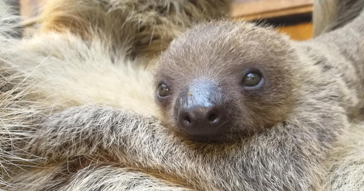 I love you slow much mummy! Sloth born in time for Mother\'s Day ...