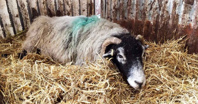 ketosis in sheep  causes  clinical signs and prevention in