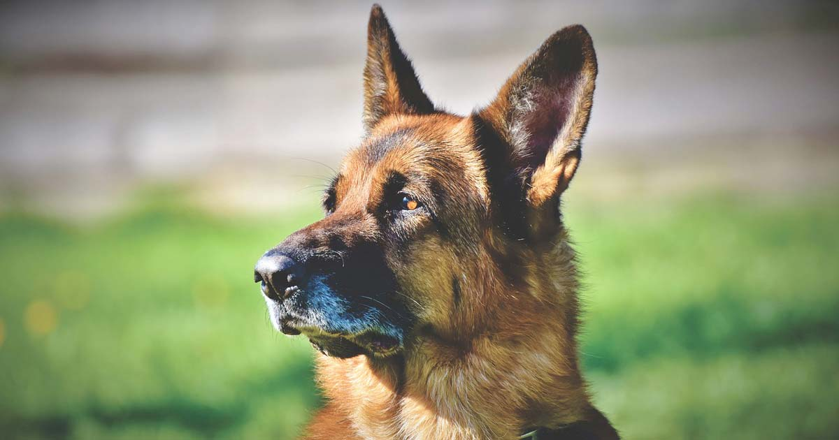 Study Movement Of German Shepherd Dogs Dependent On Shape Vet Times